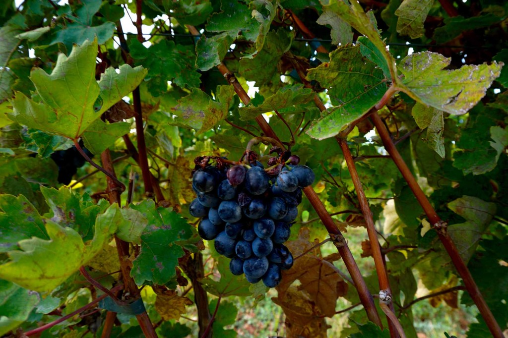 Виноград в Арени, виноградники Ван Арди